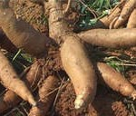 National Multi-Stakeholder Cassava Platform